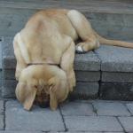 Vakthunden som somnade på sin post...