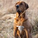 Meesteridge Tora är uppmärksam i gräset