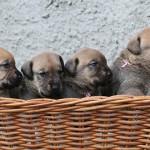 Fyra små broholmerflickor